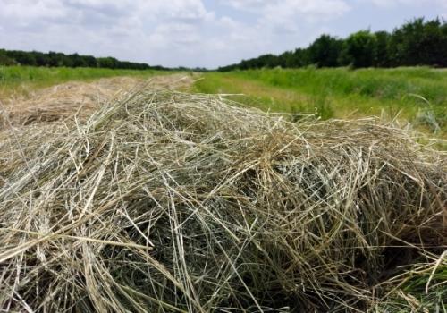 Yaz Grass Otu Nedir?
