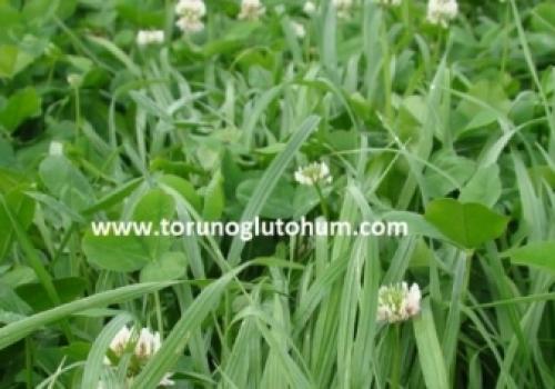 Kışlık Yem Bitkileri